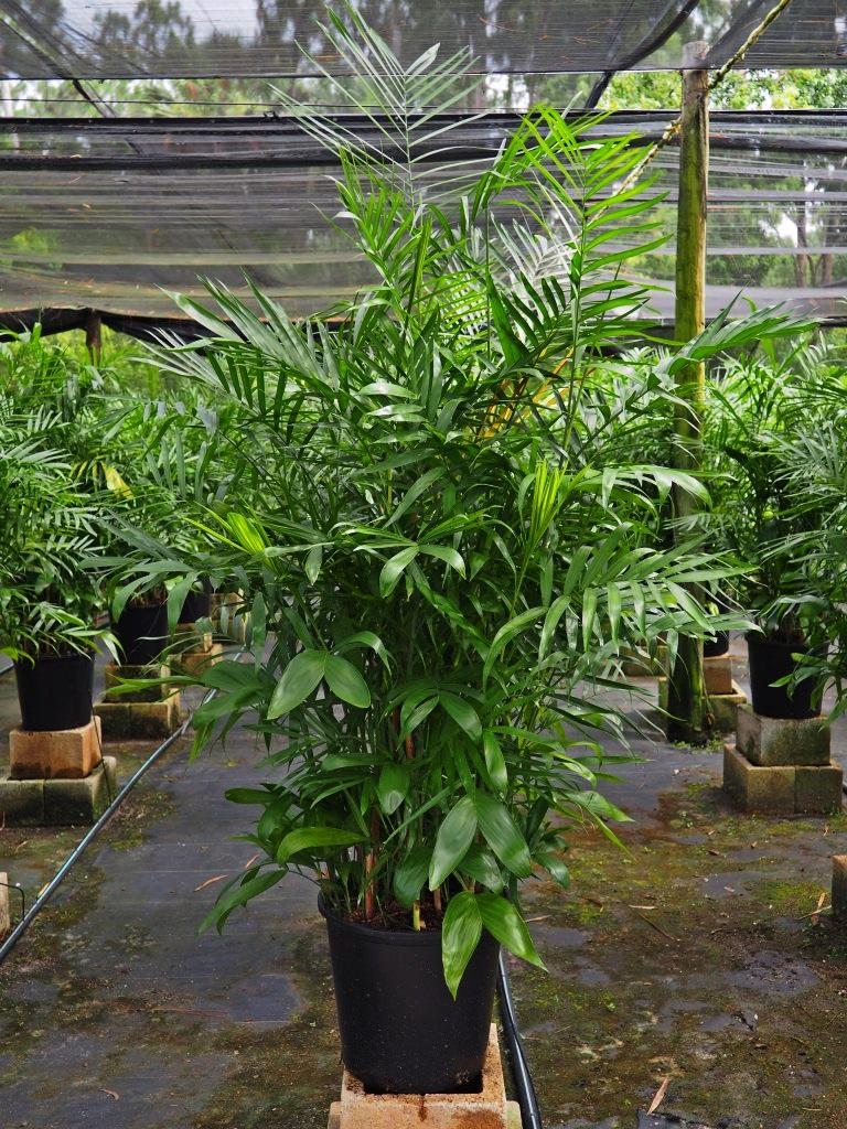 """Chamaedorea (Florida Hybrid) 14"""" Image"""