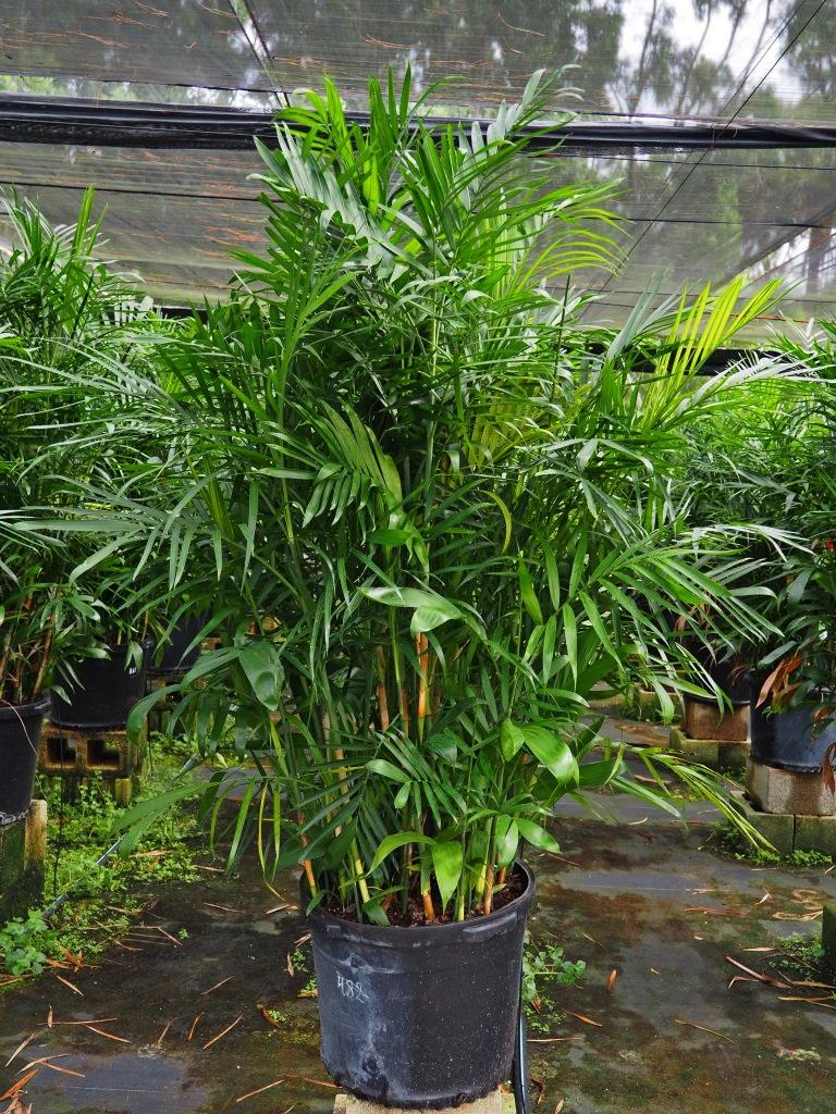"""Chamaedorea (Florida Hybrid) 17"""" Image"""