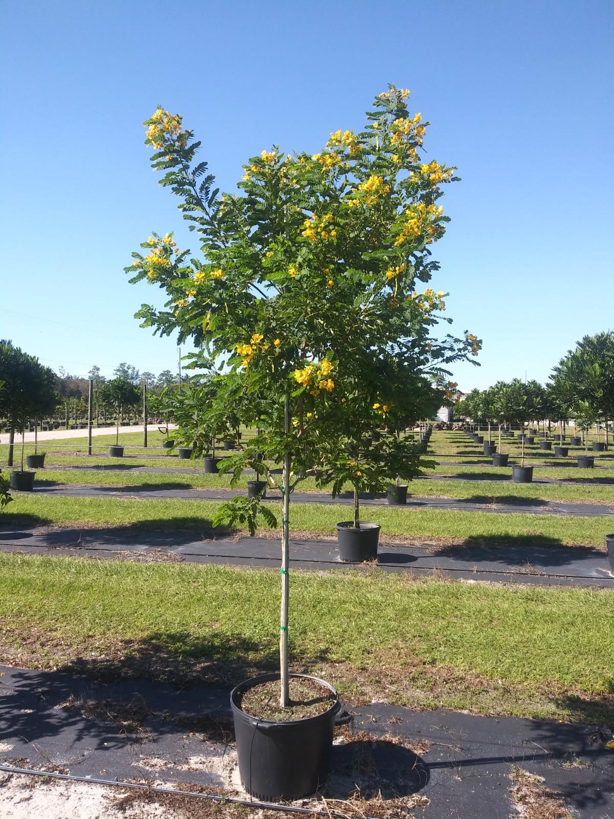 Cassia, Yellow 25g Image