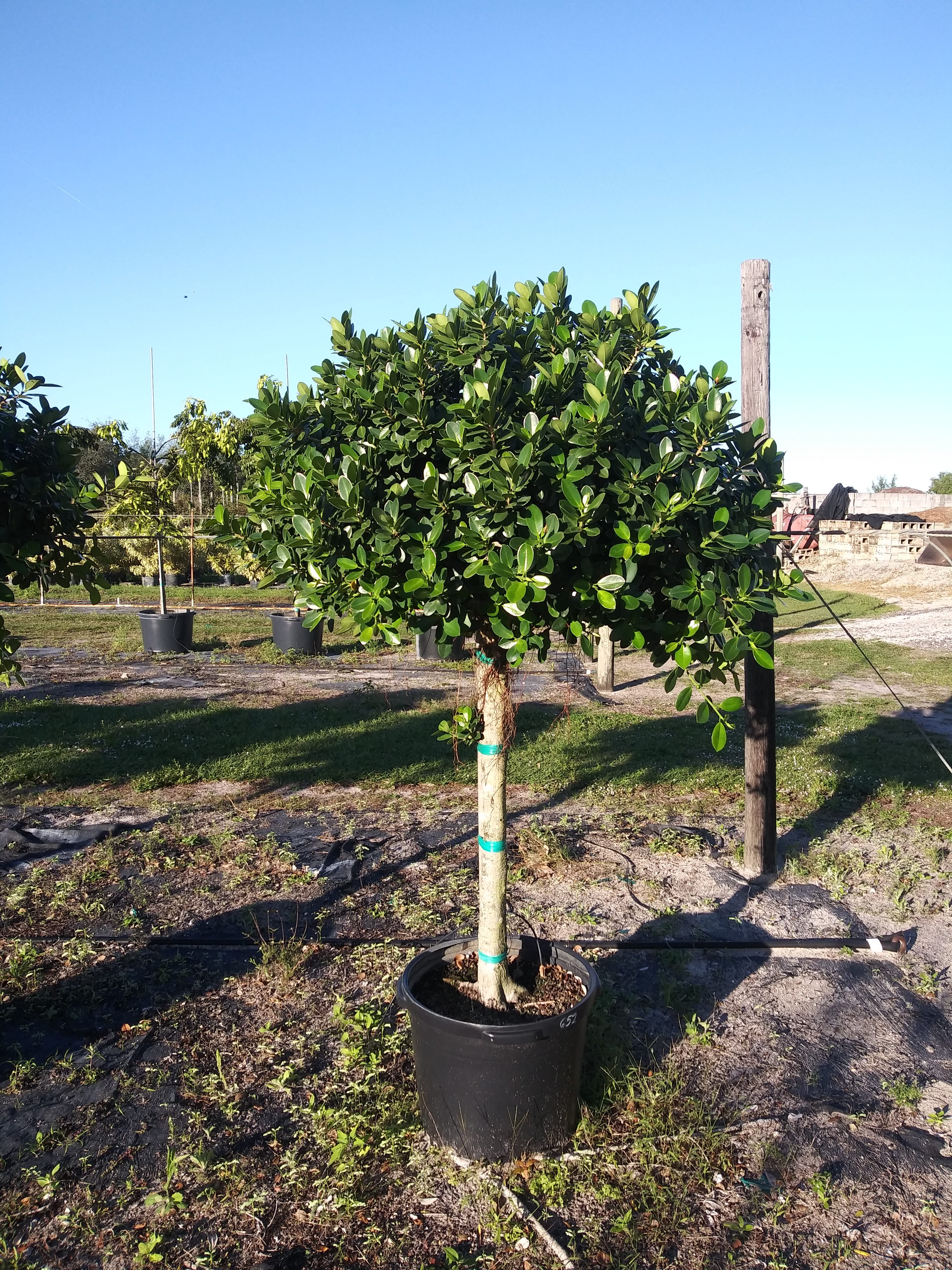 Green Island Ficus Image